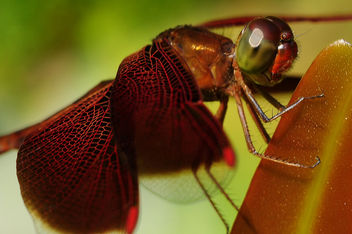 My Favourite Insect, the Red Dragonfly - бесплатный image #284193