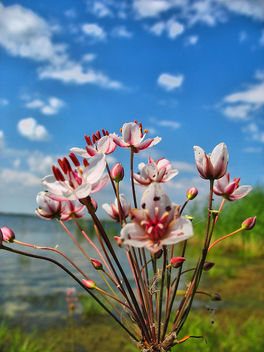 lake-flower - image gratuit #284363