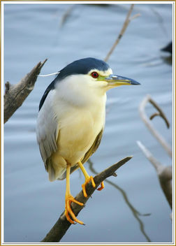 Martinet de nit - Night heron - Martinete - Nycticorax Nycticorax - Free image #284763