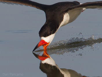 Black Skimmer (Explored!) - image gratuit #285143
