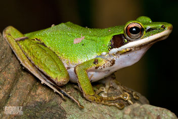 Copper Cheeked Tree Frog - image gratuit #285273