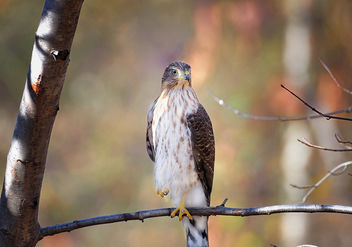 Coopers Hawk Juvy - Free image #285663