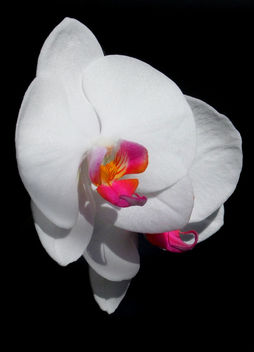 End of the Year Beauty Phalaenopsis - image gratuit #285753
