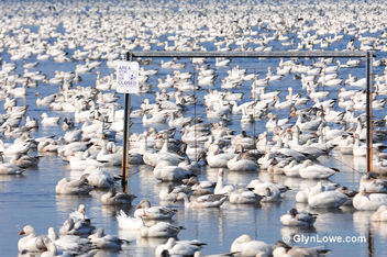 Snow Geese - Kostenloses image #286033
