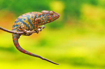 Cameleon colors - Free image #286203