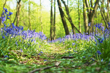 Path Of Bluebells - image #286233 gratis