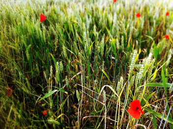 Poppies In between The Grass - image gratuit #286543