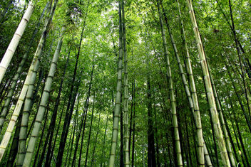 Simplicity and Bamboo Forests - Free image #286933