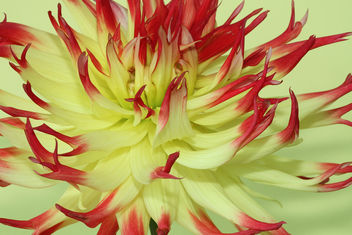 Yellow / red dahlia - image #286953 gratis