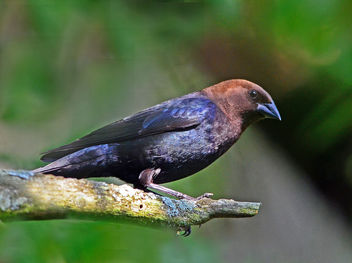 Brown-headed Cowbird - image gratuit #288513