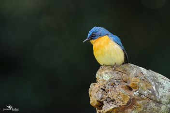 Tickell's Blue Flycatcher - image #288813 gratis