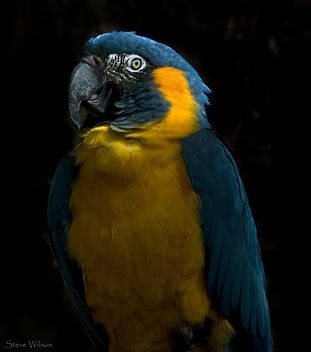 Blue Throated Macaw - image #288843 gratis
