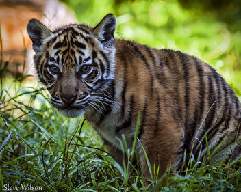 Beautiful Sumatran Tiger Cub - Free image #289183