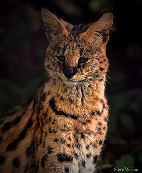 Serval at Chester Zoo (EXPLORE) - Free image #289353