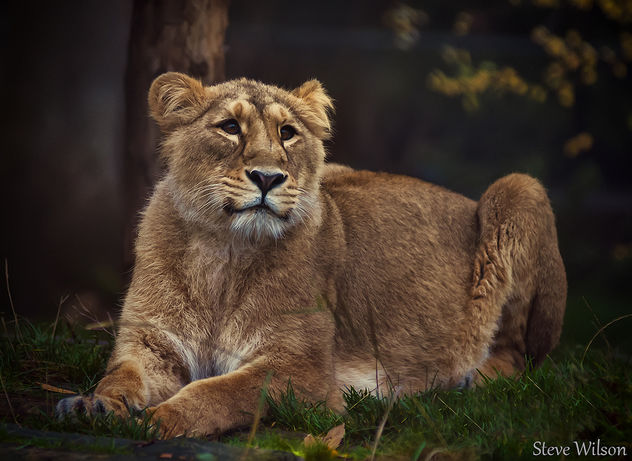 Female Indian Lion - image #289473 gratis