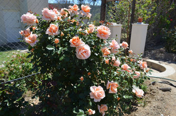 Flowers & Roses - Kostenloses image #289773