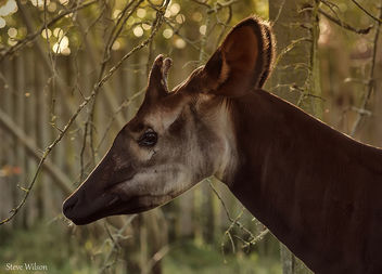 The Rare Okapi - Free image #289923