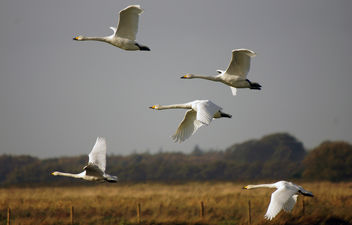 Whooper Swans, Martin Mere WWT, Burscough, 2nd November 2013 - бесплатный image #290023