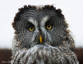 Beautiful Great Grey Owl - image gratuit #290733