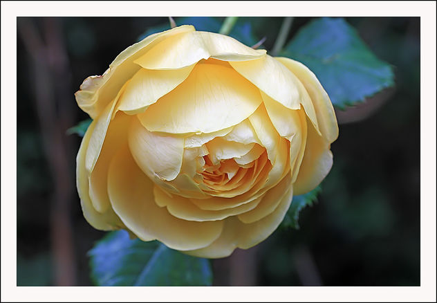 English rose flowering in the garden in February!! - Free image #290873