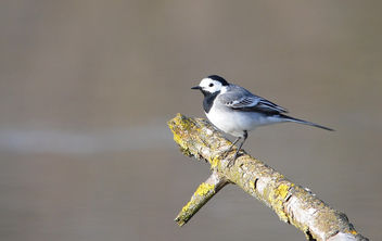 Bergeronnette grise Motacilla alba - White Wagtail - Free image #291273