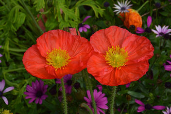 poppies - image #291743 gratis