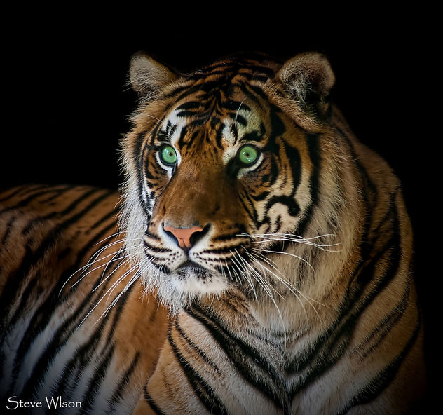 Just a green eyed Tiger - image #291863 gratis