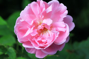 English rose - image gratuit #292713
