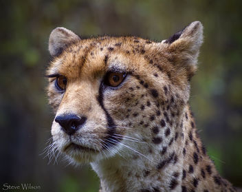 NorthWest African Cheetah - бесплатный image #293203