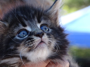 Maine Coon 5 week old Kitten, Kula Upcountry Farmer's Market Sue Salisbury Maui Hawaii - image gratuit #293503