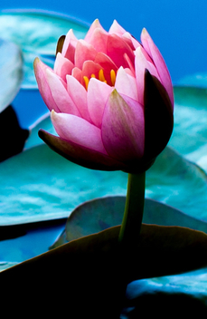 water lily - Free image #294393