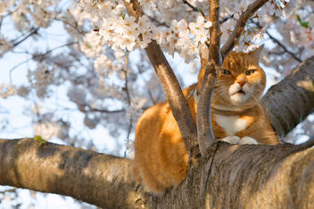 Ginger Cat & Cherry Blossoms - бесплатный image #295003