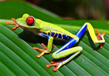 Red Eyed tree frog. - image gratuit #295453
