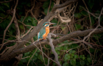 my Kingfisher - Free image #295613