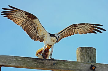Osprey with Flounder - бесплатный image #295713