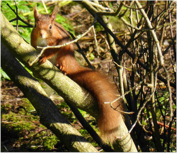 Red Squirrel in Dundee - image gratuit #296153