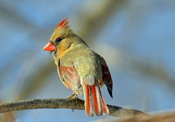 Female Cardinal Breeding Plumage - image gratuit #296573