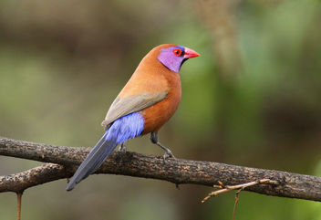 Violet-eared waxbill, Uraeginthus granatinus, at Pilanesberg National Park, Northwest Province, South Africa (male) - image gratuit #296913