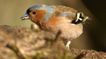 Chaffinch, Leighton Moss RSPB - image gratuit #297133