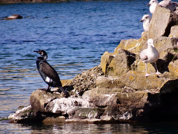 Cormorant at Southport boating lake - Free image #297213