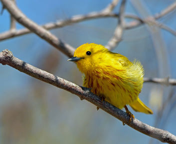 Yellow Warbler Male - image gratuit #298443
