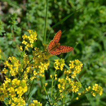 Pearl-bordered Fritillary - part 2 - бесплатный image #298673