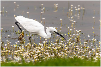 Little Egret fishing (Explored 25/5/2015) - Free image #298703
