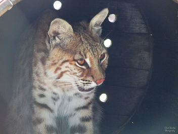 Bobcat in a Barrel - Free image #298803