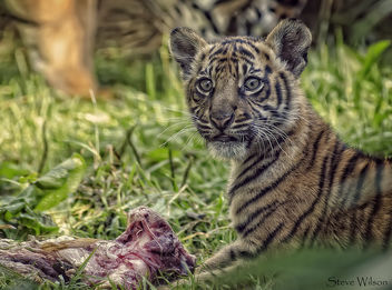Tiger Cub eating - Free image #299043