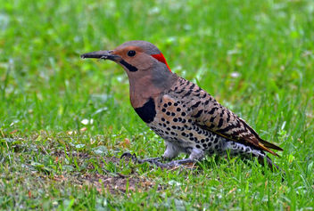 Northern Flicker - Free image #299093