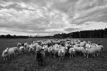 Flock Of Sheep - image #299233 gratis