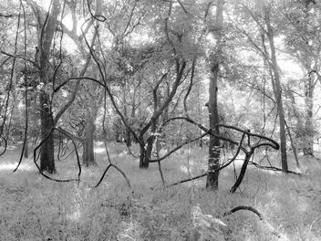Trees intertwined, McKinney Roughs Nature Preserve, TX - бесплатный image #299263