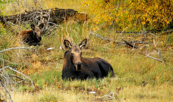 Moose Cow and Calf Seedskadee NWR - бесплатный image #300293