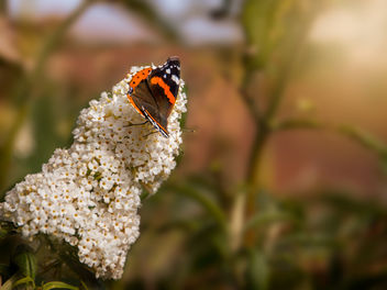 Red Admiral (PS edit) - Free image #300793